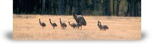 Emus at Yeilima