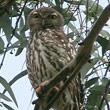 t_barking-owl