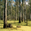 t_barmah_forest