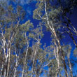 t_red-gum-forest